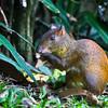 Agouti nibbling, gardens of Zoo Ave, La Guarita de Alejuela, Costa Rica