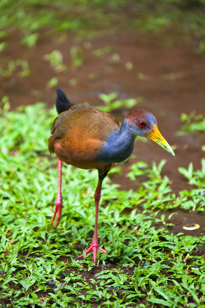 Grey-necked wood rail, Canales de Tortuguero, Costa Rica