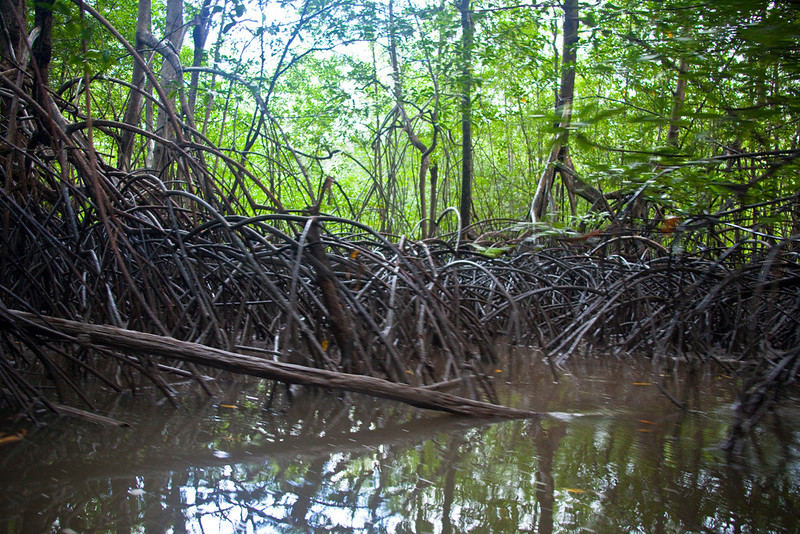 Mangrove forest, Drake's Bay, Costa Rica