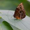 Owl butterfly, Costa Rica