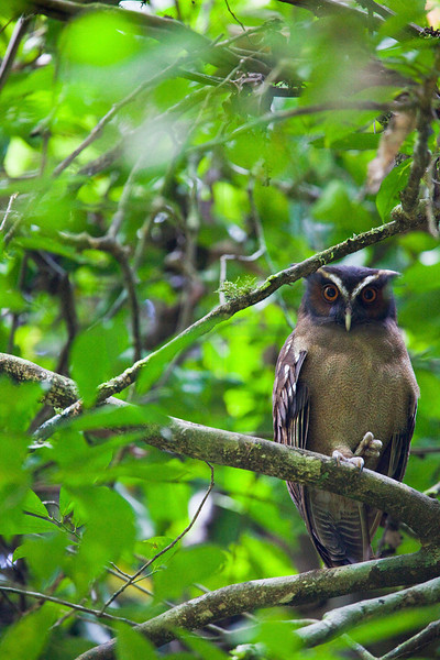 Crested owl, La Sirena area, Corcovado National Patk, Costa Rica