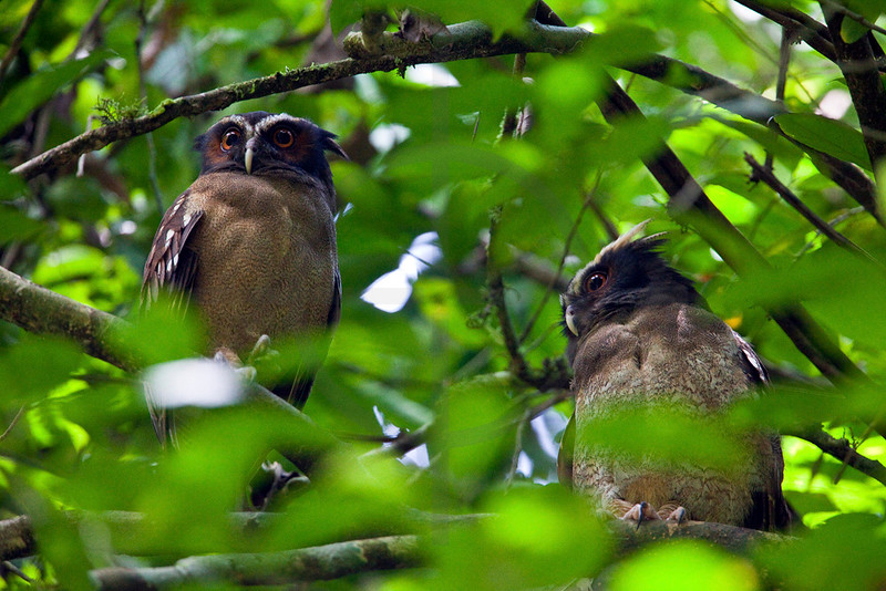Pair of crested owls, La Sirena area, Corcovado National Patk, Costa Rica