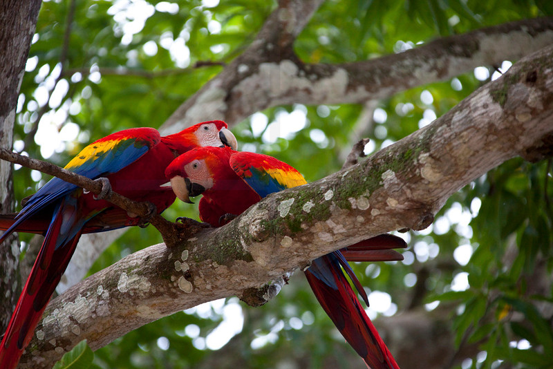 Pair of scarlet macaws grooming, tree along Panamerican Highway, Costa Rica