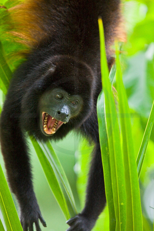 Mantled howler monkey screaming to chase off an enemy, Caño Negro Wildlife Reserve, Costa Rica