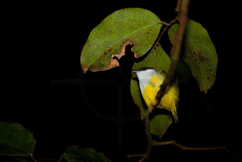White-collared manakin (male) perching on a branch to sleep at night, Tortuguero National Park, Costa Rica
