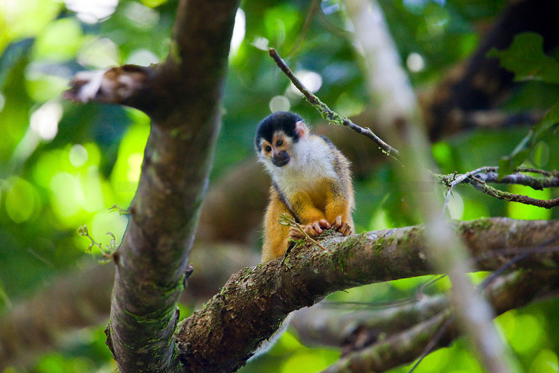 Squirrel monkey, La Sirena area, Corcovado National Park, Costa Rica