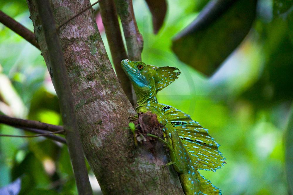 Adult green basilisk, garden of Heliconia Island Hotel, Puerto Viejo de Sarapiqui, Costa Rica