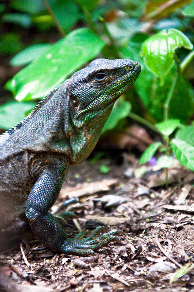 Five-keeled spiny-tailed iguana in a garden, Zoo Ave, La Garita de Alejuela, Costa Rica