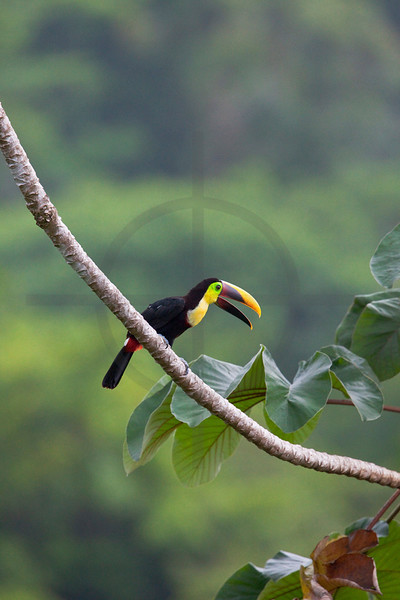 Chestnut-mandibled toucan in a cecropia tree, Osa Peninsula, Costa Rica