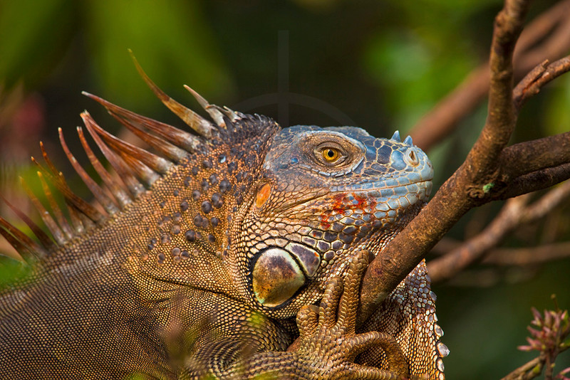 Green iguana (male) resting and in mating colors, Muelle San Carlos, Costa Rica
