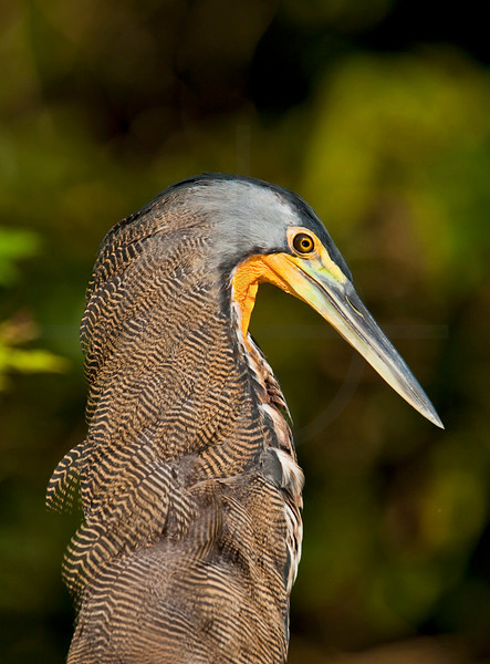 Bare-throated tiger-heron, Tortuguero National Park, Costa Rica