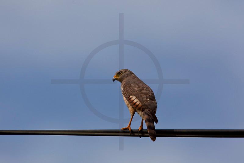 Roadside hawk (juvenile), outside La Fortuna, Costa Rica