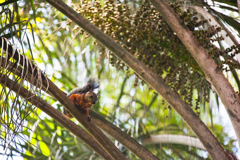 Variegated squirrel on a mission for food, trees at Zoo Ave, La Garita de Alejuela, Costa Rica
