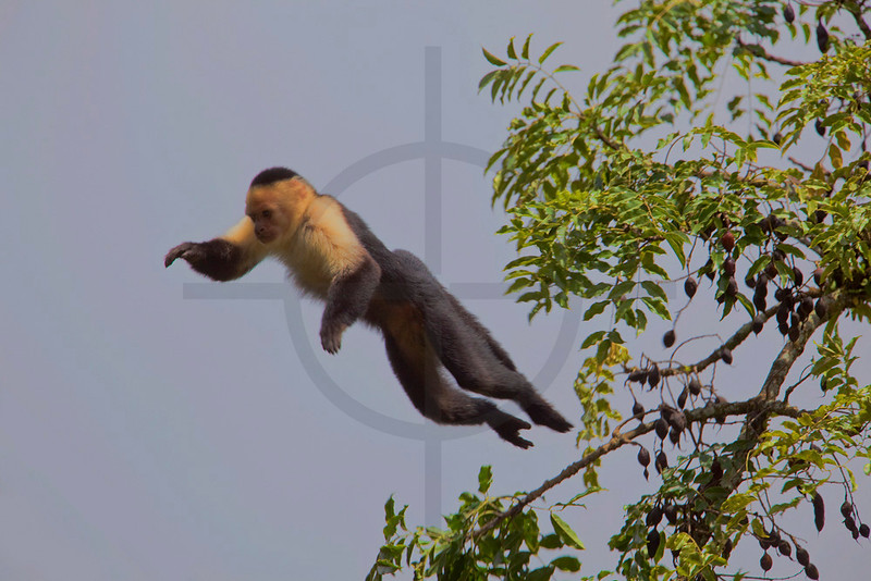 White-throated capuchin monkey jumping, Monteverde Cloud Forest Preserve, Costa Rica