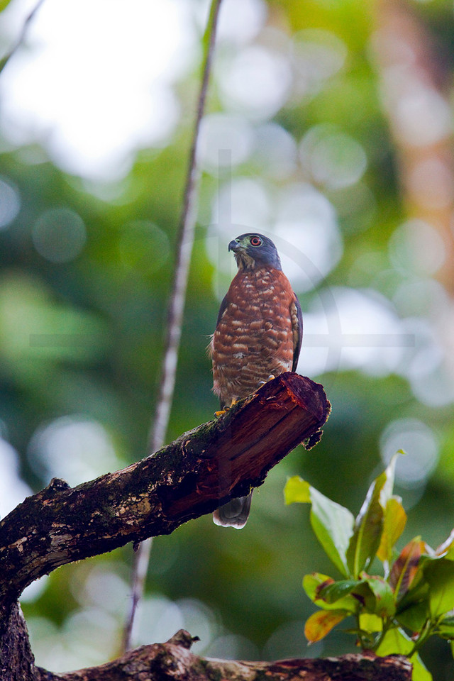 Double-toothed kite (female), Osa Peninsula, Costa Rica