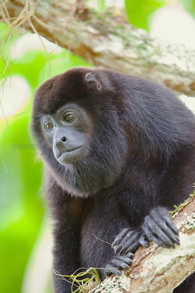 Mantled howler monkey, Caño Negro National Wildlife Reserve, Costa Rica