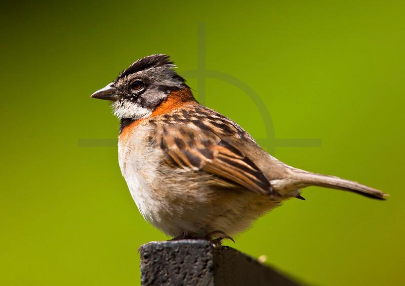 Rufous-collared sparrow, San Gerardo de Dota, Costa Rica
