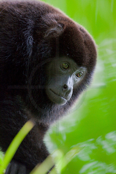 Mantled howler monkey, Caño Negro National Wildlife Reserve, Costa Rica