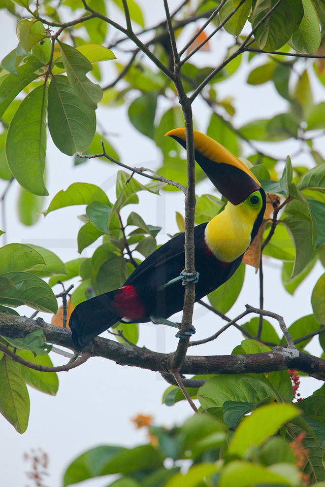 Chestnut-mandibled toucan, Osa Peninsula, Costa Rica