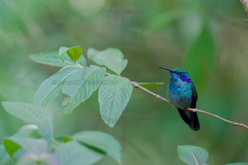 Green violet-ear, Monteverde Cloud Forest Preserve, Costa Rica
