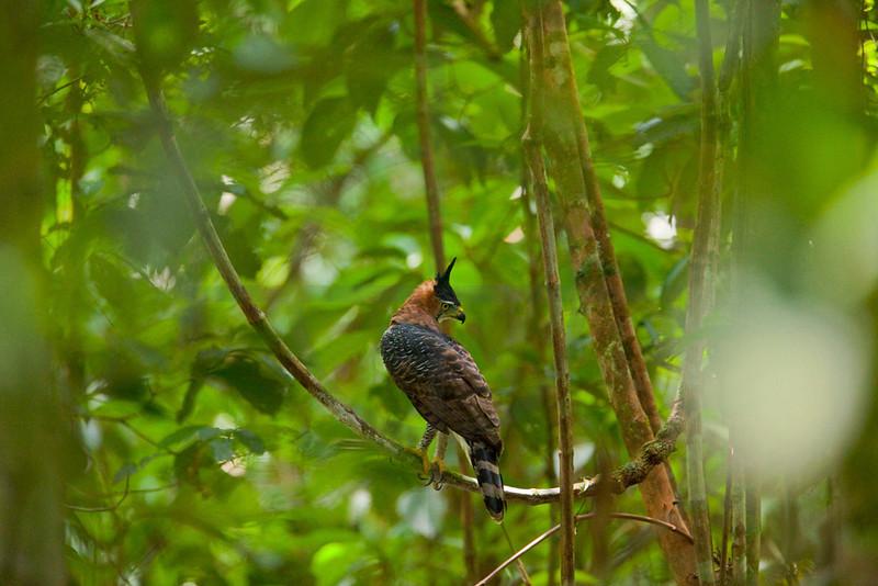 Ornate hawk eagle (adult), Cuyabeno Faunal Reserve, Ecuador