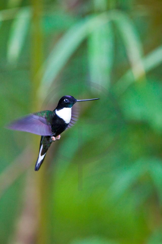 Collared inca (male) hovering, Cabañas San Isidro Forest Reserve, Ecuador