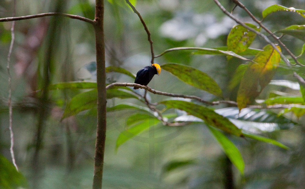 Golden-headed manakin, Cuyabeno Faunal Reserve, Ecuador