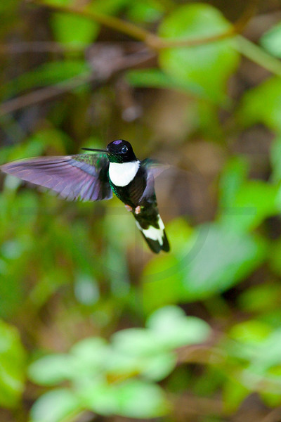 Collared inca (male) hovering, Cabañas San Isidro Forest Reserve, Ecuador