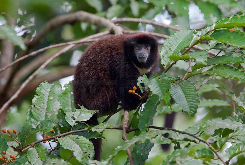 Titi monkey eating fruit, Cuyabeno Faunal Reserve, Ecuador