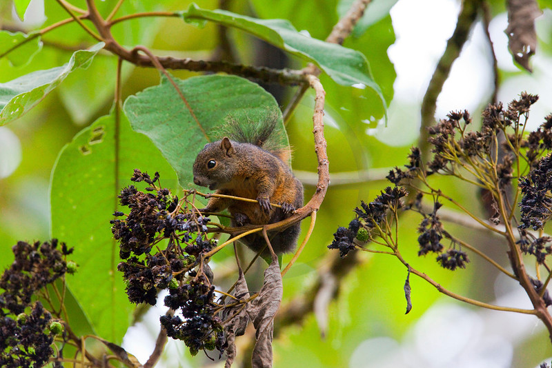 Amazon dwarf squirrel feeding, Cabañas San Isidro Forest Reserve, Ecuador