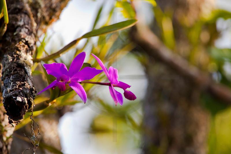 Orchid, Cuyabeno Faunal Reserve, Ecuador