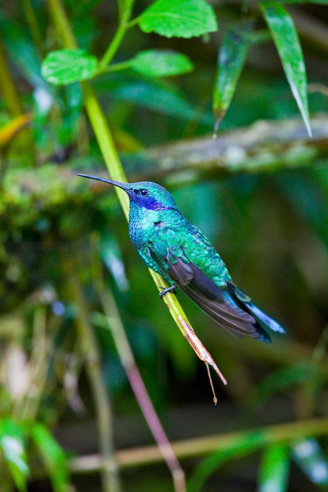 Sparkling voiletear, Cabañas San Isidro Forest Reserve, Ecuador
