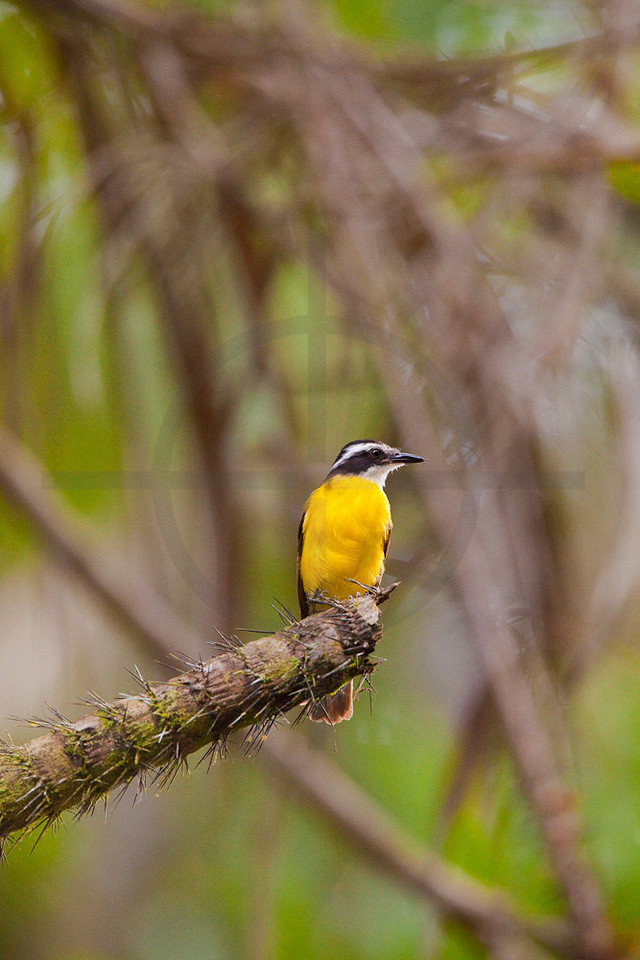 Lesser kiskadee, Cuyabeno Faunal Reserve, Ecuador