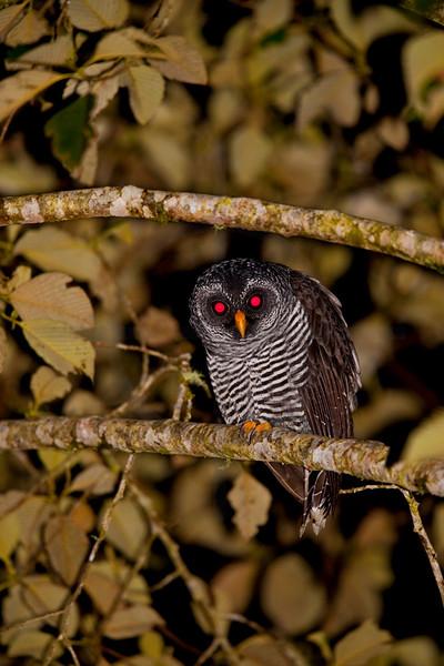 Black-banded owl at night, Cabañas San Isidro Forest Reserve, Ecuador
