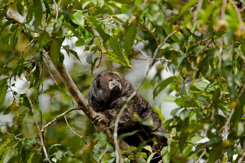 Monk saki monkey, Cuyabeno Faunal Reserve, Ecuador
