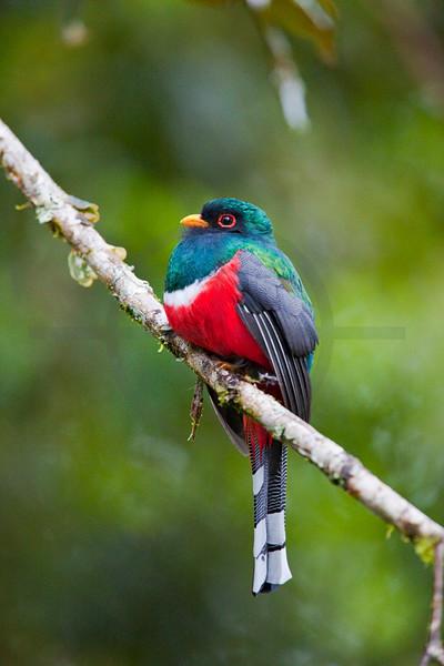 Masked trogon (male) perching, Cabañas San Isidro Forest Reserve, Ecuador