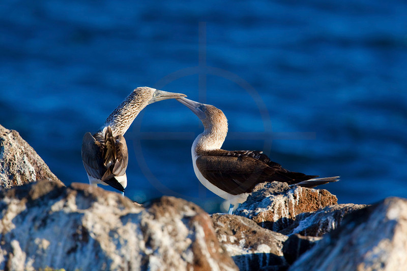 Pair of blue-footed boobies bonding, North Seymour, Galápagos Islands, Ecuador