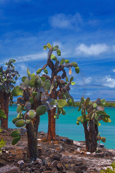 Prickly pear cacti, Santa Cruz Island, Galápagos Islands, Ecuador