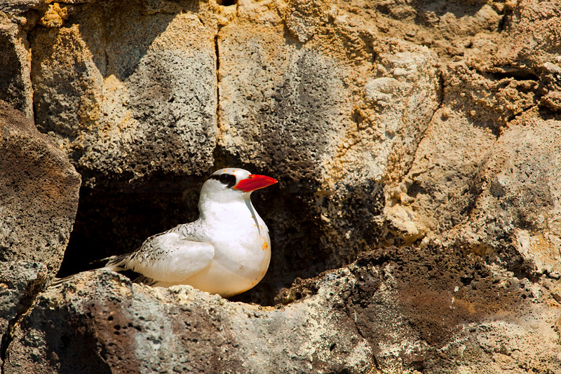 Red-billed tropicbird in front of its nest, Genovesa Island, Galápagos Islands, Ecuador