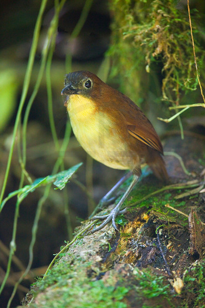 Yellow-breasted antpitta, Angel Paz Bird Reseerve, Ecuador