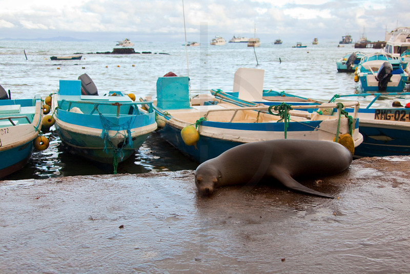 Galápagos sea lion (cow) at rest, port of Puerto Ayora, Santa Cruz Island, Galápagos Islands, Ecuador