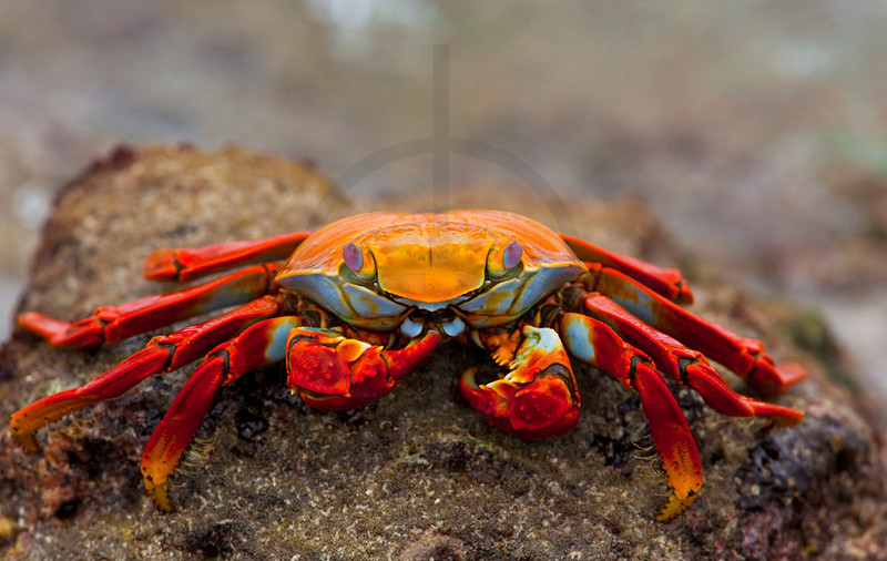 Sally lightfoot crab feeding, Sombrero Chino, Galápagos Islands, Ecuador