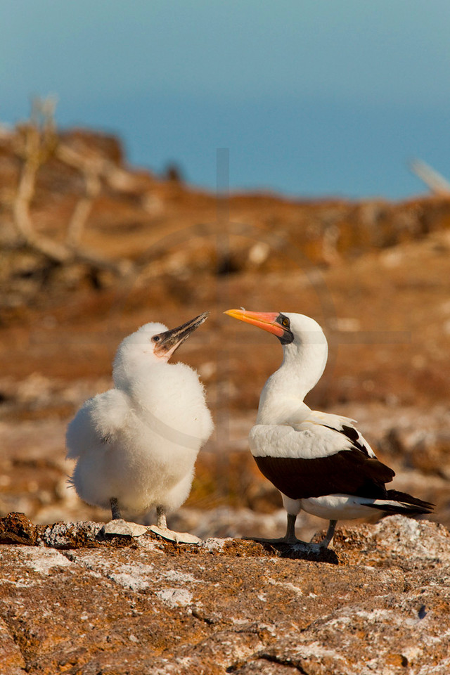 Nazca booby with chick, Genovesa Island, Galápagos Islands, Ecuador