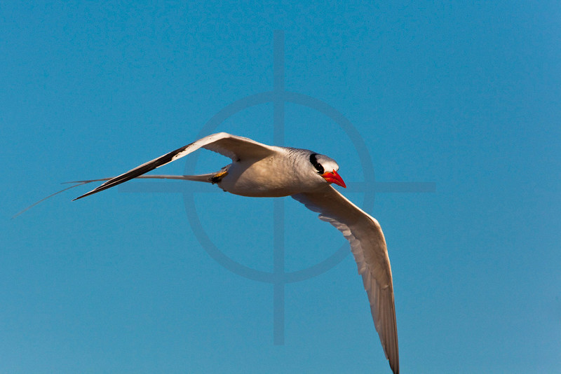 Red-billed tropicbird in flight, Genovesa Island, Galápagos Islands, Ecuador