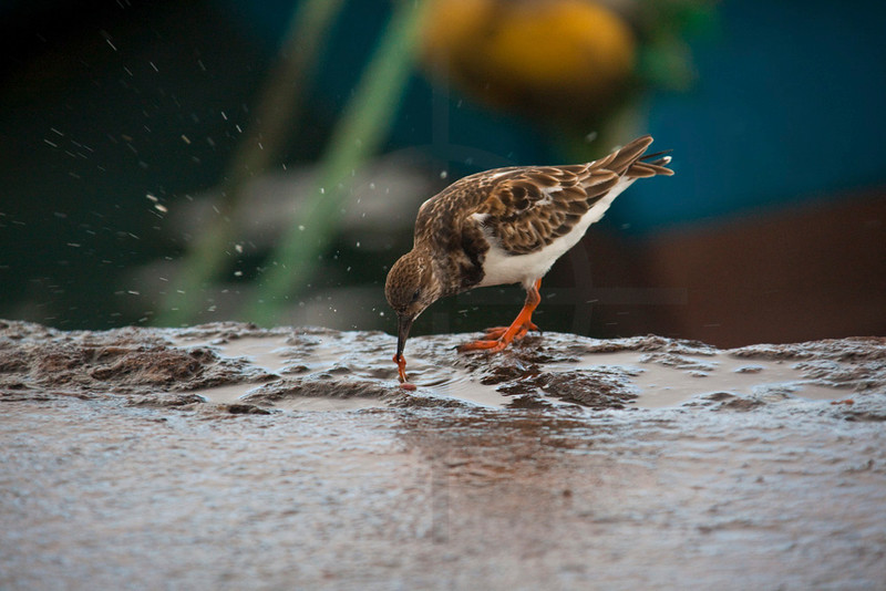 Ruddy turnstone feeding on a worm, port of Puerto Ayora, Santa Cruz Island, Galápagos Islands, Ecuador