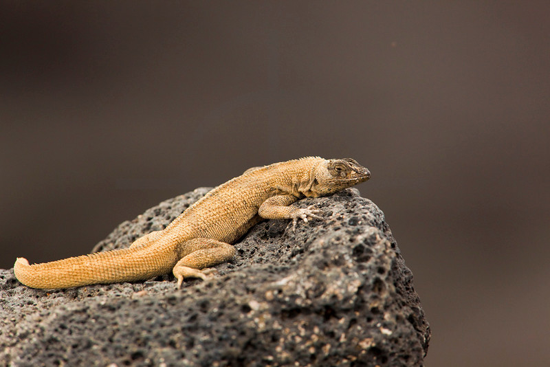 Lava lizard on a piece of lava, Sombrero Chino, Galápagos Islands, Ecuador
