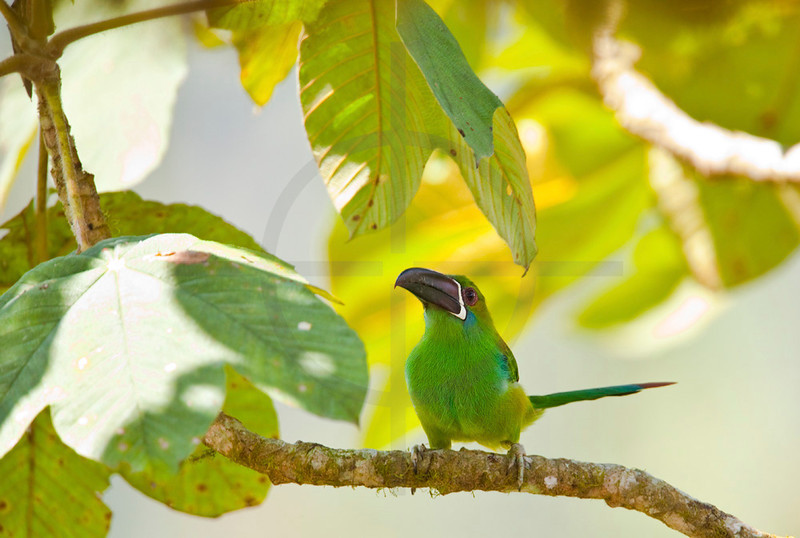 Emerald toucanet perching on branch of a cecropia tree, Angel Paz Bird Reserve, Ecuador