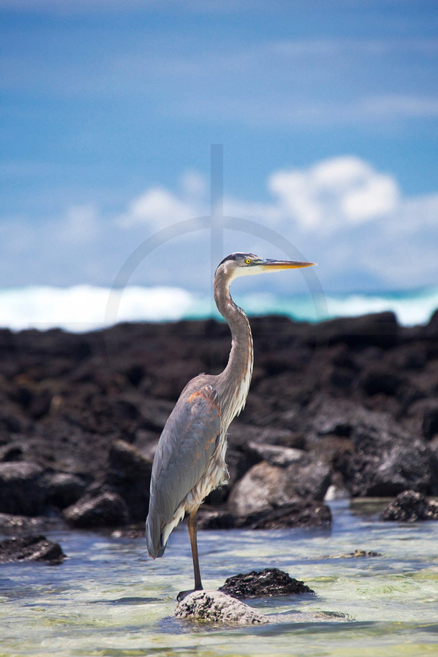 Great blue heron, Playa Tortuga near Puerto Ayora, Santa Cruz Island, Galápagos Islands, Ecuador