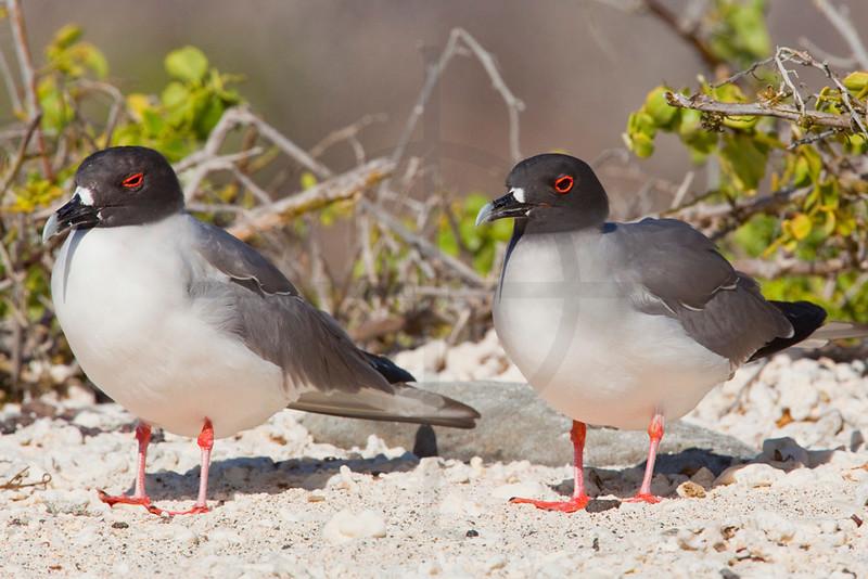 Pair of swallow-tailed gulls, Genovesa Island, Galápagos Island, Ecuador
