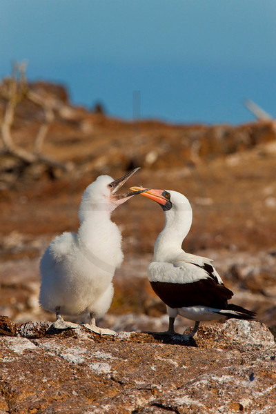 Hungry Nazca booby chick begging its parent for food, Genovesa Island, Galápagos Islands, Ecuador